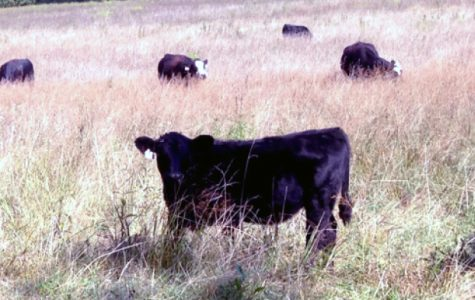 Cattle and Cowhands